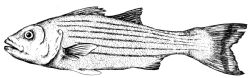 Original striped bass ink painting